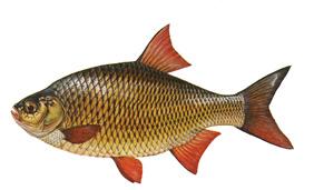 laube kleiner karpfenfisch